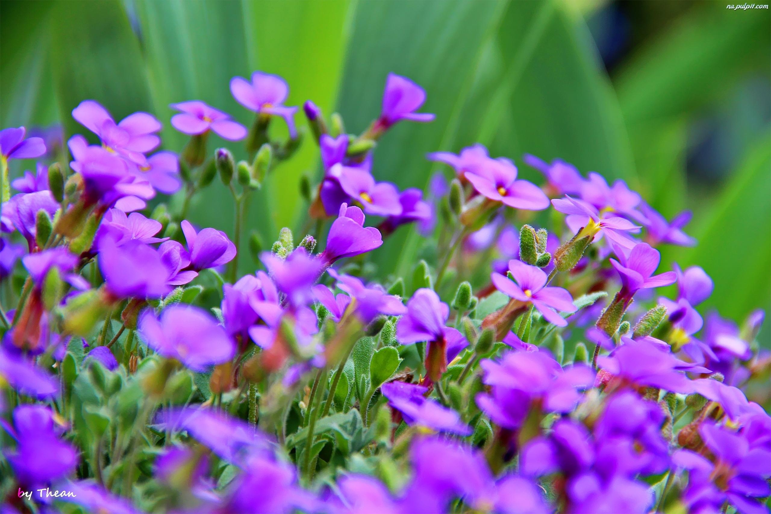 Wiosenne Kwiatki Na Pulpit